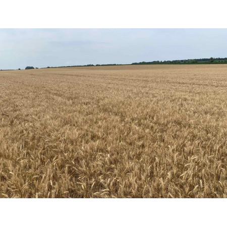 Насіння посівної озимої пшениці НС 40 С