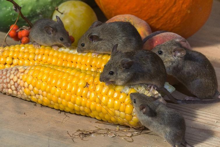 отрава для мышей на полях, купить отраву для полевых мышей,применение родентицид,отрава для полевых мышей,инструкция