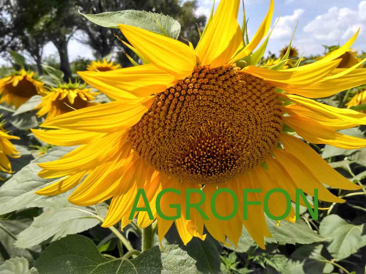 семена подсолнечника НС Суио 007, подсолнух НС 007, НС 6059