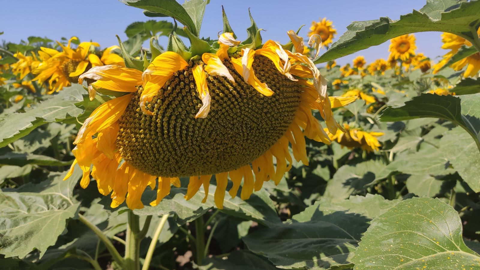 цветение подсолнечника НСХ 2652