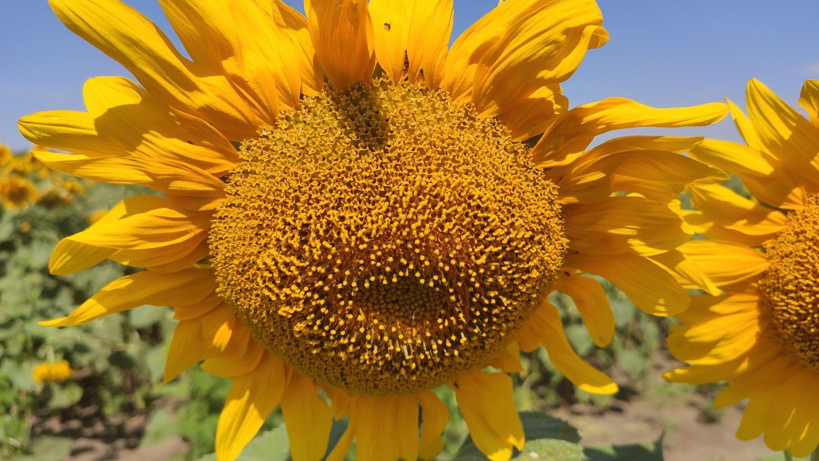 Sunflower field NS-X-6045
