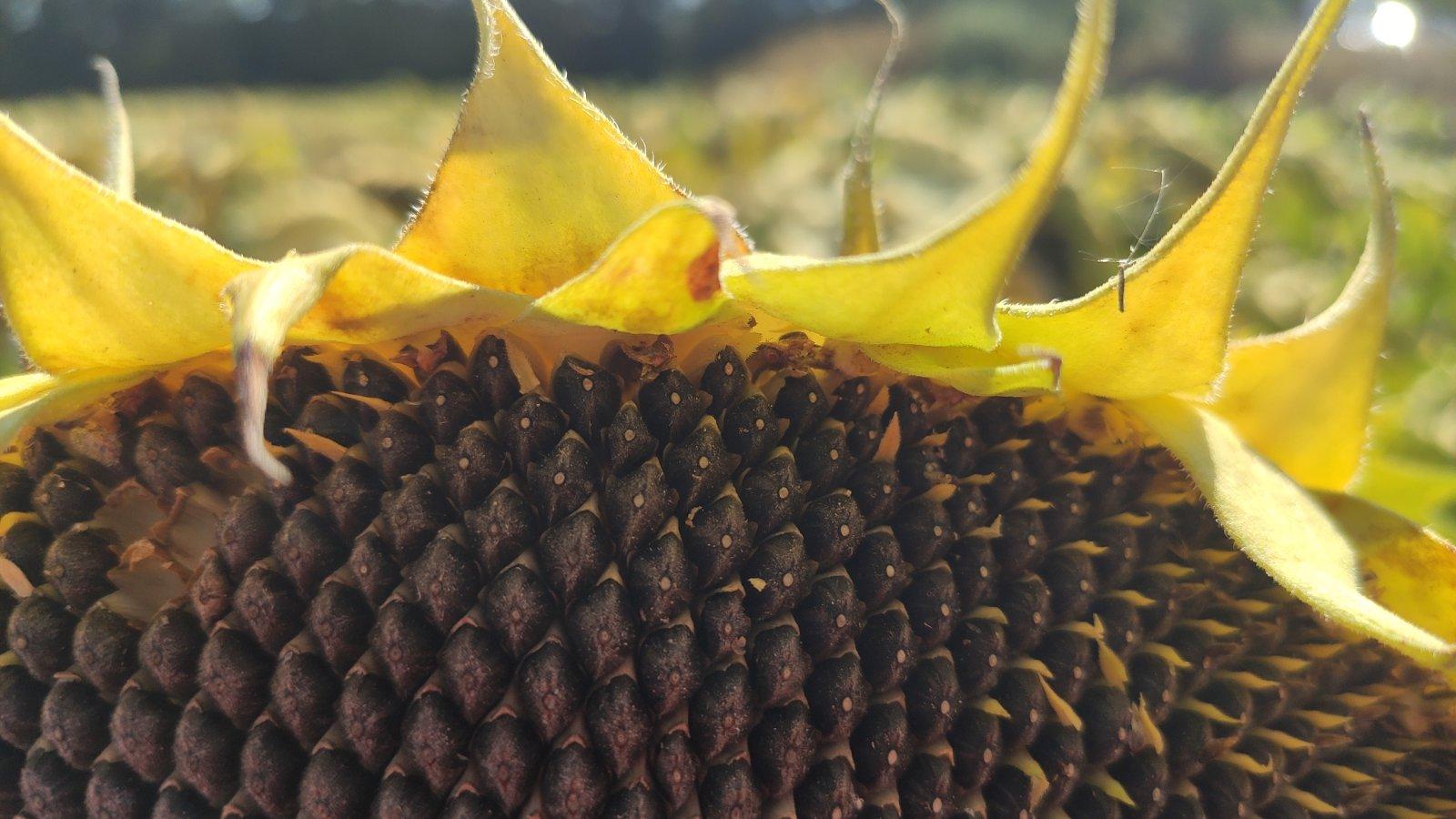 соняшник Приват, насіння соняшнику Сумо, купити насіння соняшнику під гранстар Приват, соняшник 7 + рас стійкості до вовчка