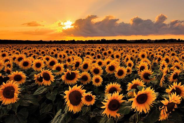 семена подсолнечника, купить подсолнух семя,подсолнечник цена Украина,семечко подсолнуха инструкция