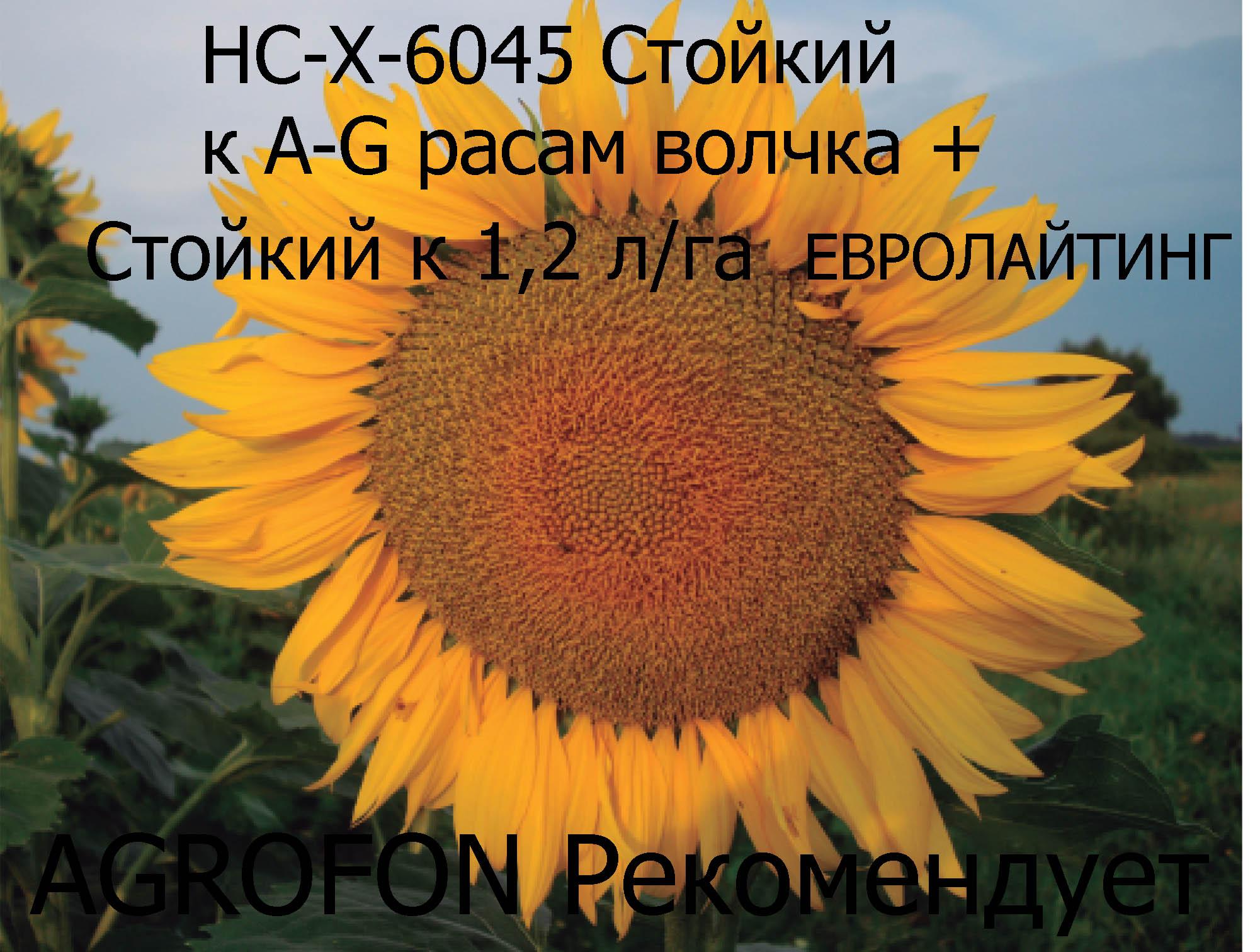 подсолнечник 6045, подсолнечник НС-Х-6045
