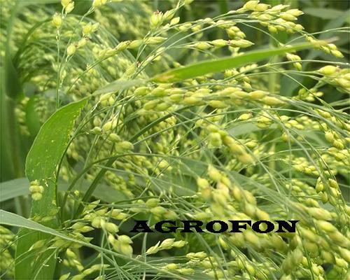 семена просо Полтавское Золотистое