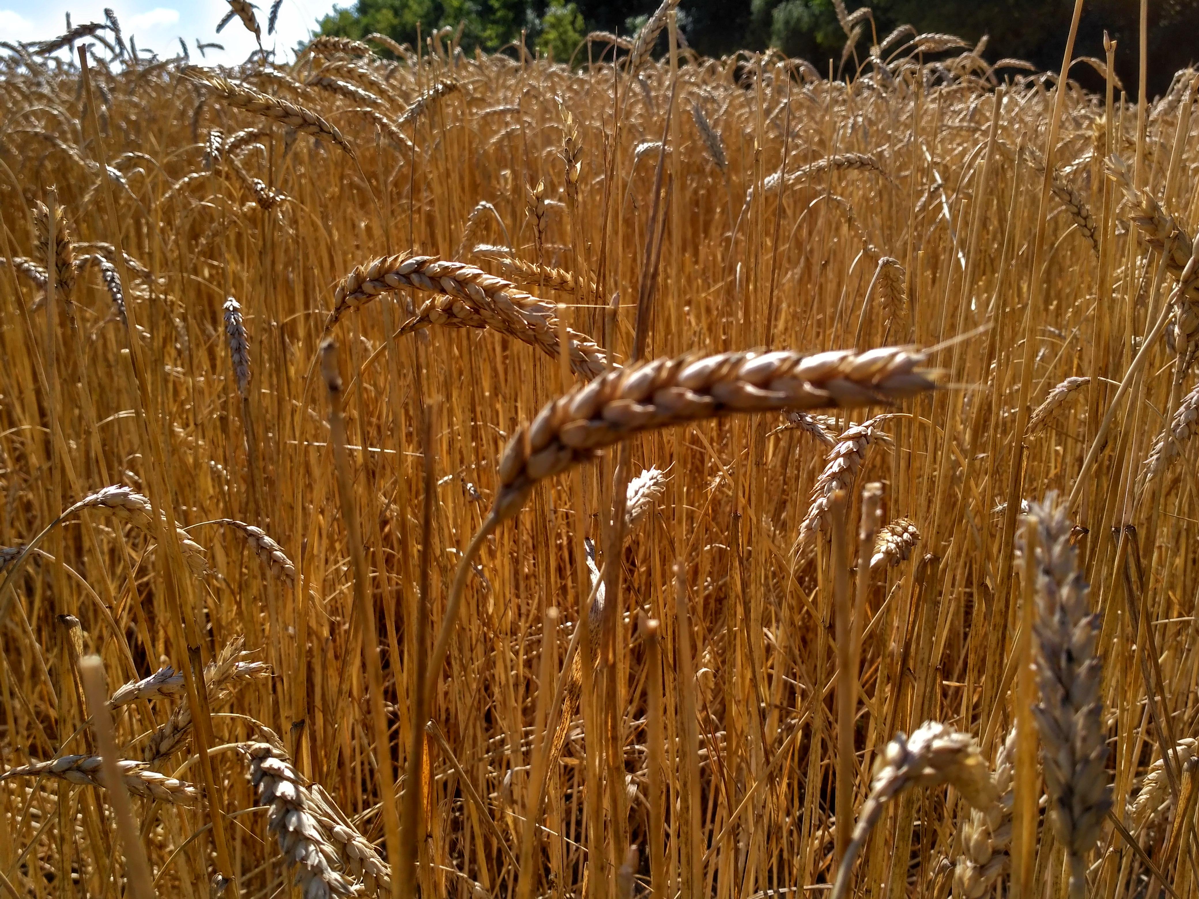 удобрения зерновых культур, купить удобрения для пшеницы,применение удобрений под зерновые,удобрения озимых культур инструкция